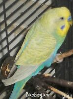 looking for a male budgie