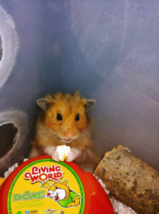 Male Long Haired Syrian Hamster