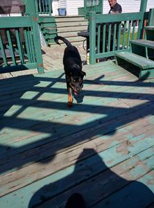 Rottweilers femelle de 5 mois
