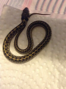 CAPTIVE BRED BABY CHECKERED GARTER SNAKES FOR SALE