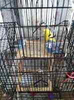 3 Budgies with big cage