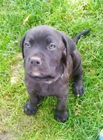 Want A female Ital Mastiff/Cane Corso for forever home.