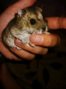 Female Russian Dwarf Hamster