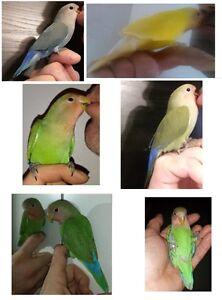 Gentils bébés Inséparables recherche foyer (Lovebird)