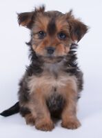 *** TOY MORKIE PUPPIES *** 1 GIRL LEFT *** READY TO GO