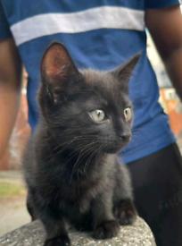 cute playful black kitten