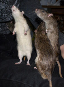 Two male rats free to a good home