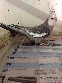 Beautiful Grey and White Cockatiel