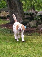 **Handsome Snoop - BEAGLE cross is available for adoption****