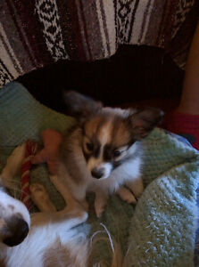 Adorable Papillon Puppies For Sale