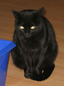 Lovable, affectionate black kitty - free to a good home