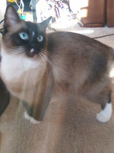 "Wonderful Siamese-Ragdoll ""Sheeba"""