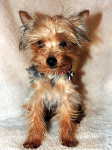 LITTLE YORKIE GIRL !!