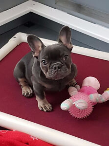 Blue & Tan French Bulldog Female--PET HOME ONLY