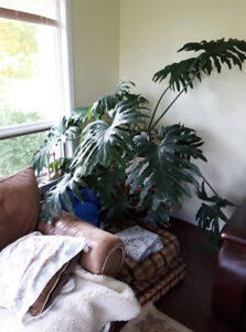 House or Office plants, Philodendron