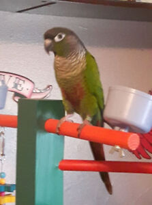 Bonded Green Cheek Conures For Sale To Good Home