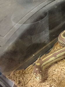 PRICE REDUCED.  California king snake and accessories