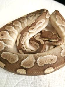 Male Butter Ball Python