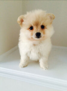 Adorable Pomeranians