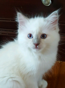 Lilac Mitted Male Ragdoll kitten Netered TICA