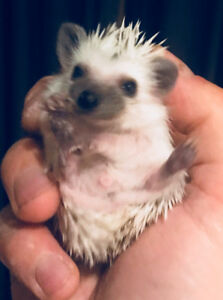 "Adorable baby ""Snowflake"" Pygmy Hedgehogs. Ready now!"