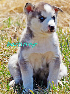 Husky pups available May 1/2