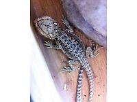 Red dunner baby bearded dragons