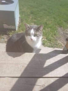 Lost: Grey and White cat, Westbrook area!