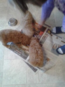 Shi Poo Puppies for sale.