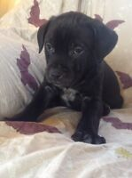 Cane Corso/Lab puppies ready to go!