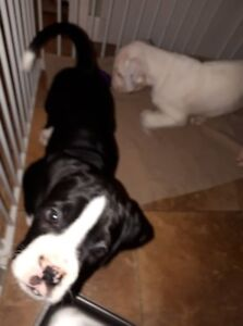 And Then There Were Two!!! Boxer Puppies, Reg'd Kennel