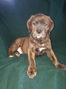 Rottweilers Puppies Kijiji In Alberta Buy Sell Save With