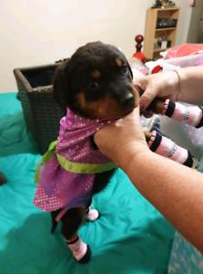 Rottweiler puppy female