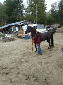 CHEVAL CANADIEN  3 ANS    (JB GAUTHIER) 514 947-2236