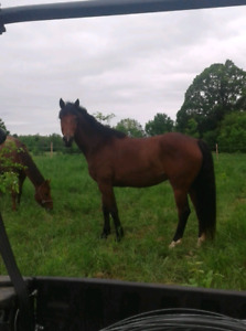 Canadian Sports horse mare