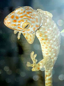 Male Tokay Gecko for sale