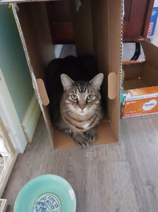 9 year old male tabby cat. Free.