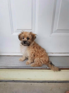MISSING PUPPY!!! LULU SHIH TZU CROSS