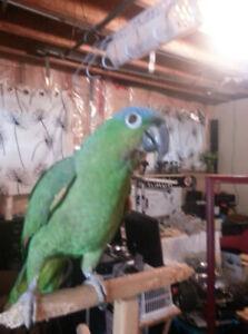 blue headed amazon parrot