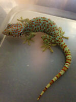 Female tokay gecko only $10