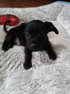 WRANGLER teenie tiny  CHUG pup looking for lap to cuddle in