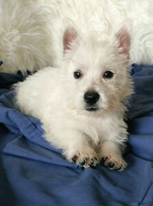 West Highland Terrier pups ready now with pedigree and microchip