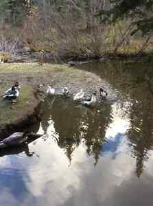 Muscovy ducks for sale Williams Lake Cariboo Area image 4