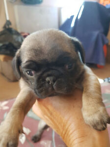 Black and Tan Pug puppies for sale.