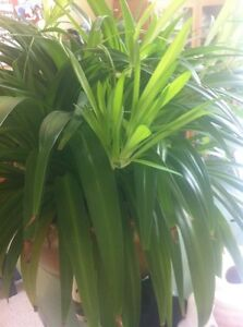 Baby Spider plants/ house plants, 2 for $1 Kitchener / Waterloo Kitchener Area image 1