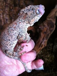 Red Retic gargoyle gecko now available