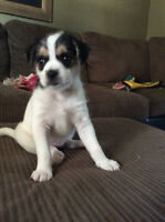 Westie Jack Puppies