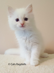 Flame Point Ragdoll kittens - TICA Registered