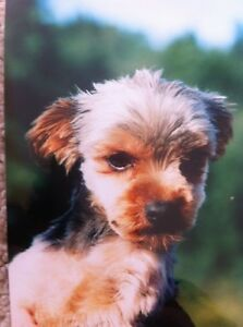 Yorkie Puppy's ALL SOLD