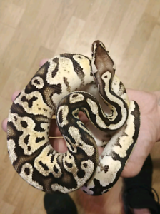 Female pastel leapord fire ball python 1.5 years old 250 obo